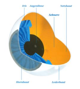 Anatomie-des-Auges